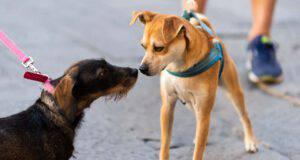il cane piange quando vede altri cani