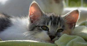 Il gatto e la leucocitosi