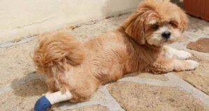 lesioni tendine d achille cane