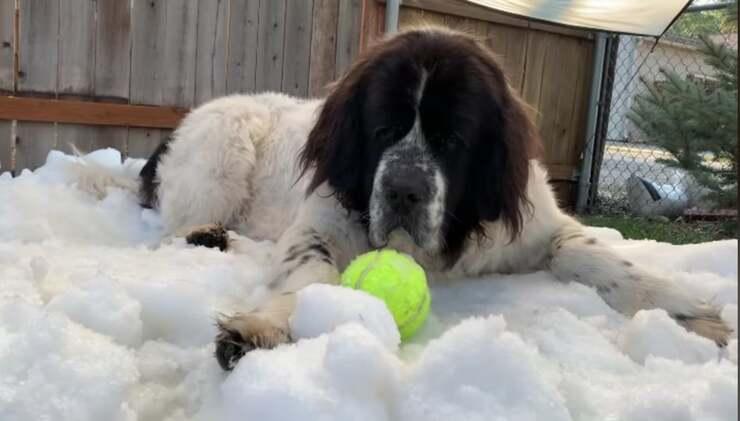 Il cane malato di cancro su un cumulo di neve appositamente realizzato per lei (Screen Video)