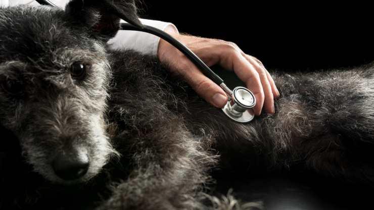 malattia di chagas nel cane
