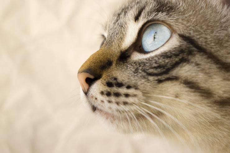 La malattia agli occhi del gatto