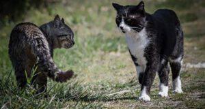 perché i gatti litigano di notte