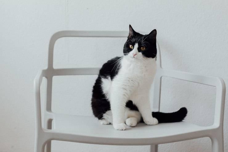 Razze di gatti indifferenti