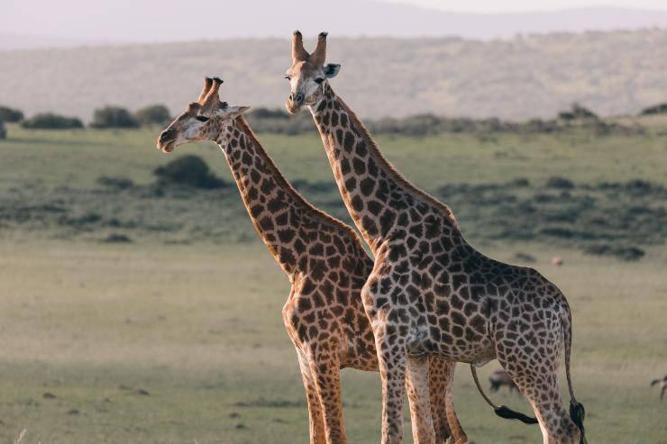 Le giraffe e il collo lungo