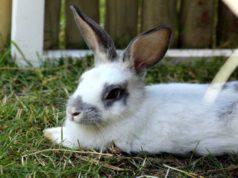 Il coniglio e la toxoplasmosi