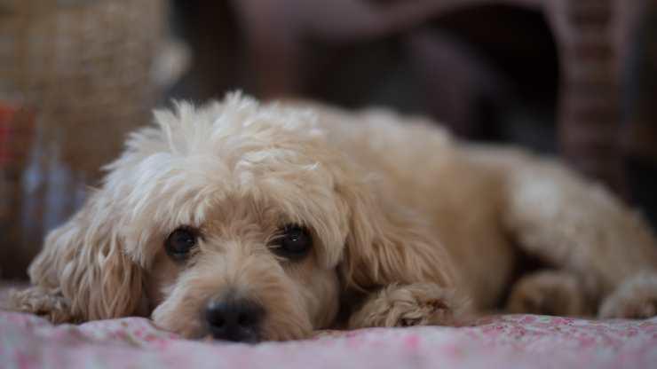 razze cani incline epilessia