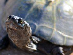Come muoiono le tartarughe