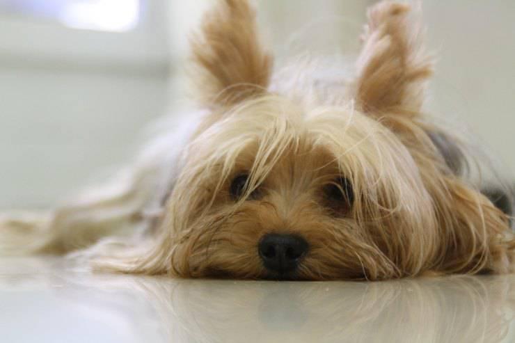 Nefropatia nel cane